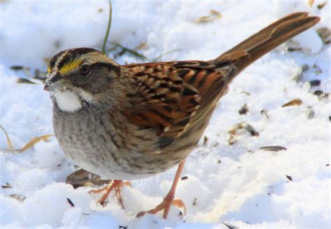 birds white throated sparrow