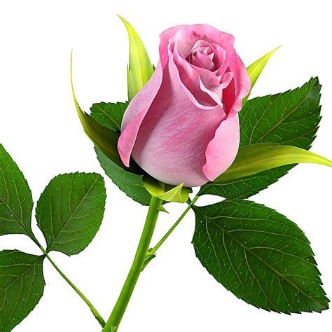 100 gambar tato 3d bunga mawar rose di lengan dada image gallery mawar pink