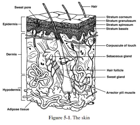 Integumentary System Worksheet by Integumentary System Integumentary System