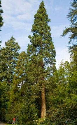 redwood trees lovetoknow