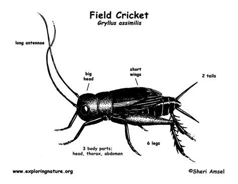 cricket anatomy diagram the mission welcome 2nd grade entomologists