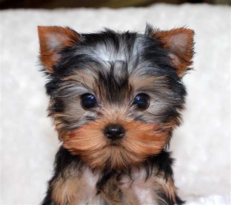 tracup yorkie micro teacup yorkie puppy for sale iheartteacups