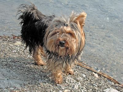 yorkie skin bumps what makes terriers itch scratch a lot pets