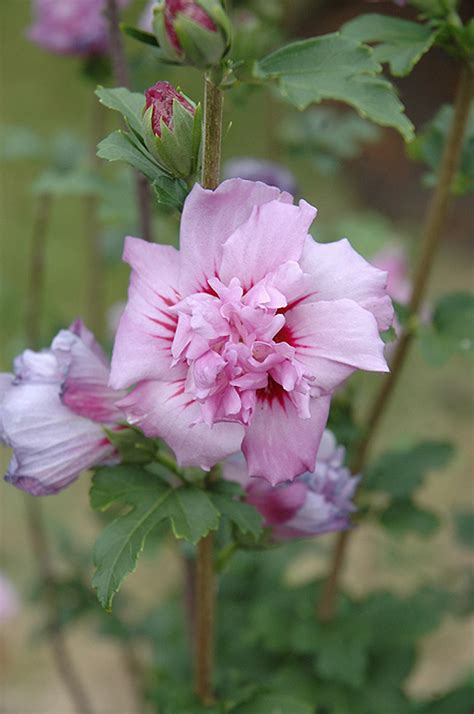 ardens rose  sharon hibiscus syriacus ardens