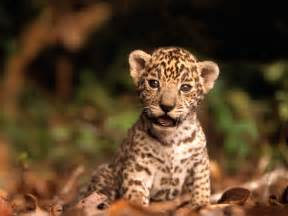 Jaguars Meaning High Definition Jaguar Wallpapers Hd Nature Wallpapers