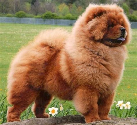 big fluffy puppies big fluffy cat breeds breeds picture breeds picture