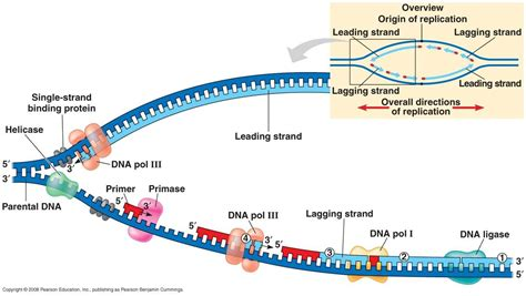 dna replication diagram biology how does dna replicate