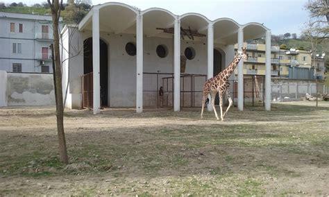 giardino zoologico napoli allo zoo di napoli arriva la giraffa lubango