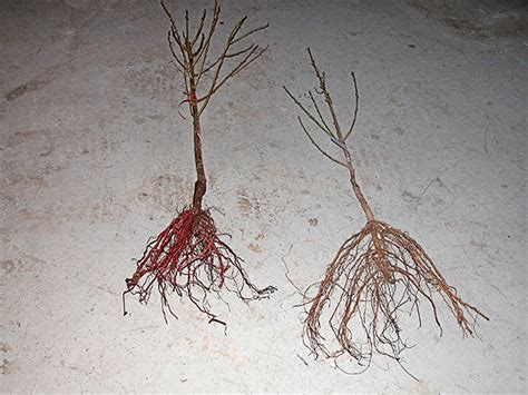 bare root fruit trees bare root fruit trees