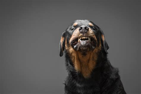 r e a l rottweiler rescue ohio let s find a forever home for kingston 187 voted best pet photographer in cleveland