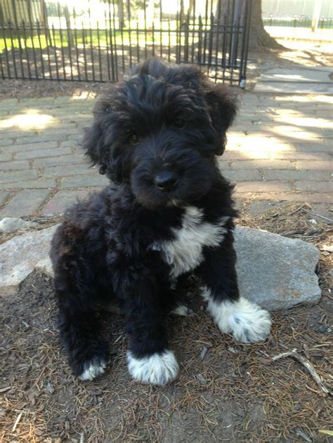 schnoodle puppies schnoodle schnauzer poodle mix info puppies temperament pictures