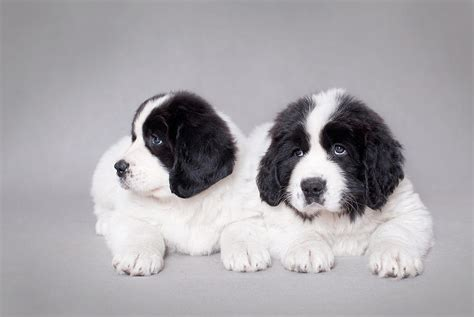 landseer puppies newfoundland puppies for sale when looking for newfoundland puppies breeds picture