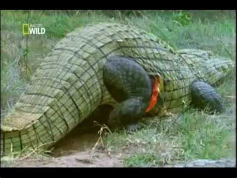 ataques de ataque animal ep 4 crocodilo youtube