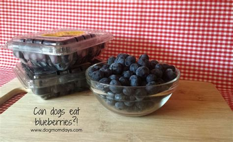 can puppies eat blueberries can dogs eat blueberries days