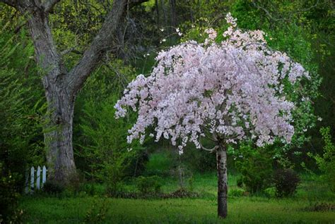 cherry tree weeping 4 best cherry trees to grow in the south gardener s path
