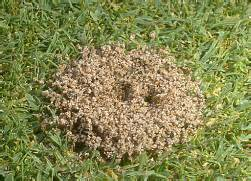 les fourmis d 233 truisent mon gazon jardinier paresseux