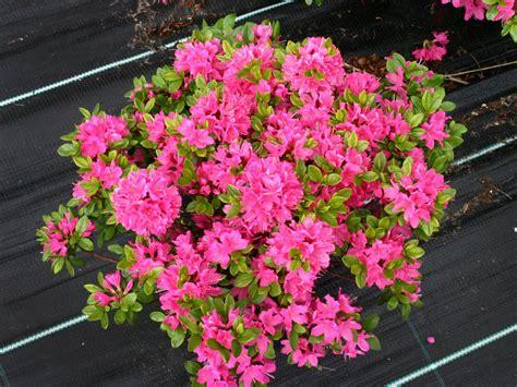 Azalea Shoo japanische azalee kermesina rhododendron obtusum