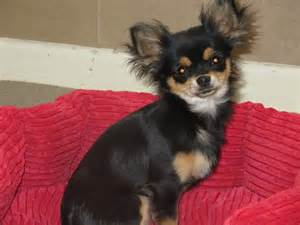 pictures of haired chihuahua haircuts haircuts for long hair chihuahuas