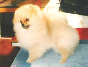 pomeranian puppies for sale australia 301 moved permanently