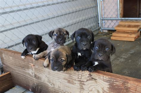 mastiff puppies for free ambullneo mastiff puppies for sale for sale adoption from riverside california