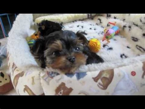 4 week yorkie puppy yorkie puppies 4 weeks doovi