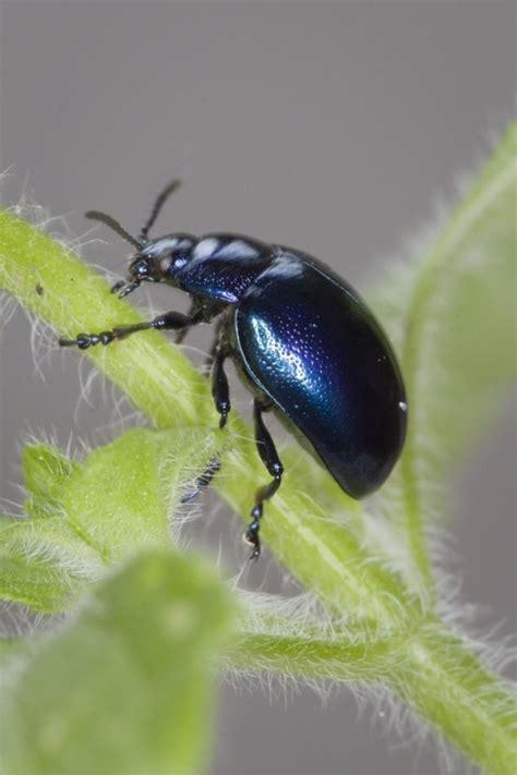 blue mint beetle amateur gardening