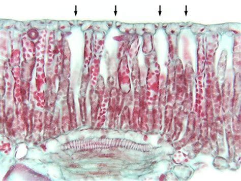 nymphaea leaf cross section water lily