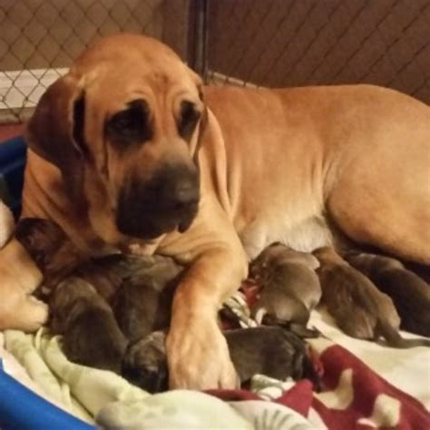 fila brasileiro puppies for sale mastiff puppies and dogs for sale and adoption freedoglistings