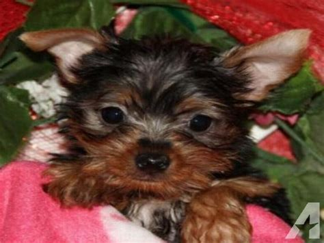 puppies for sale odessa tx absolute adorable yorkie puppies ready for new forever homes for sale in odessa