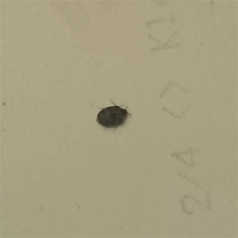 identifying bed bugs possible bed bugs please help identify bed bug forum