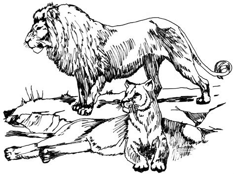 african lion coloring pages big cat line drawings