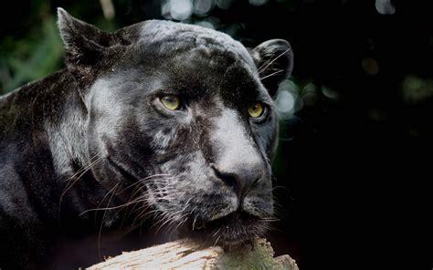 black panther animal desktop wallpaper black jaguar wallpapers wallpaper cave