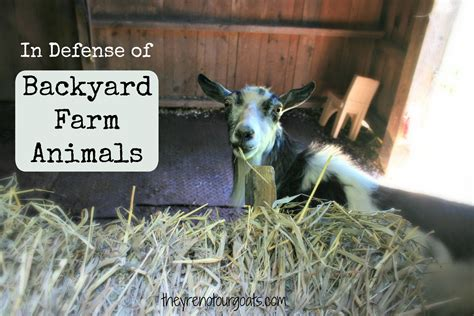backyard farm animals in defense of backyard farm animals they re not our goats
