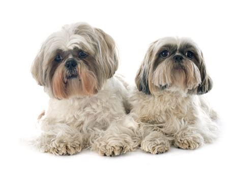 what two dogs make a shih tzu how can i shih tzu times two shihtzu web