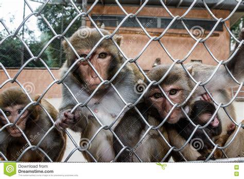 Monkey House by Monkeys In A Monkey House In Sukhumi Abkhazia Stock Photo