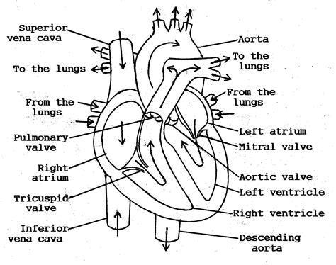 Flow Worksheet by Diagram Blood Flow Through Anatomy Organ
