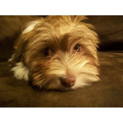 havanese rescue pa havanese breeders in pennsylvania freedoglistings