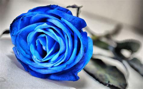 wallpaper flower rose blue blue rose flower 1 background hdflowerwallpaper com