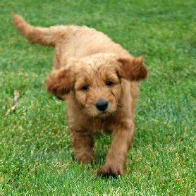 goldendoodle puppies ma 17 best images about golden doodles on thongs teddy dogs and jokes