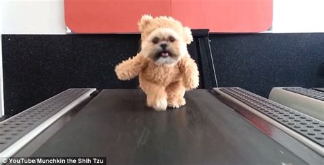 spell shih tzu munchkin the shih tzu hits the treadmill in impossibly teddy suit