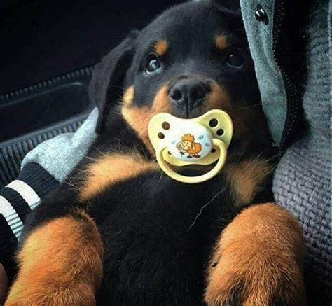 rottweiler net alaskan malamute rottweiler mix puppies breeds picture