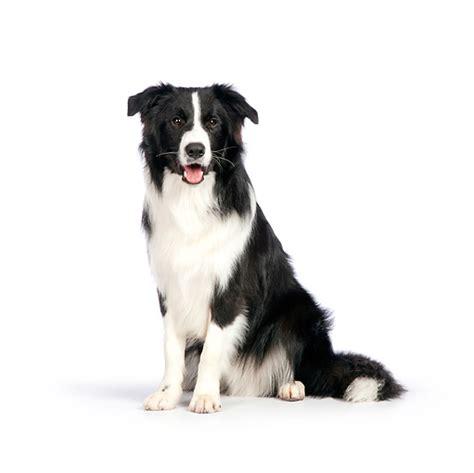 rk puppies border collie animal stock photos kimballstock