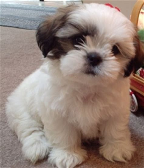 shih tzu pomeranian mix all about the pomeranian shih tzu mix dogable