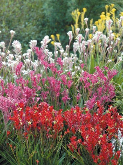 Flowers In Australian Gardens Best 25 Kangaroo Paw Ideas On Kangaroo Paw Plant Australian Garden And