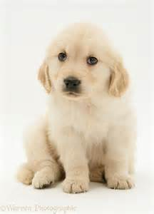 Dog golden retriever puppy photo wp17593