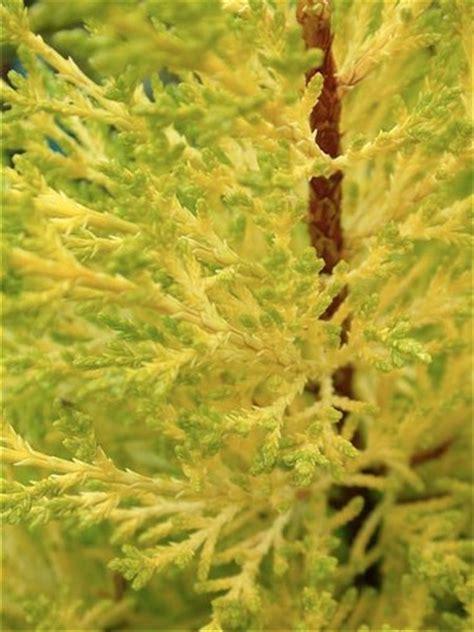 cupressus macrocarpa citriodora citriodora monterey