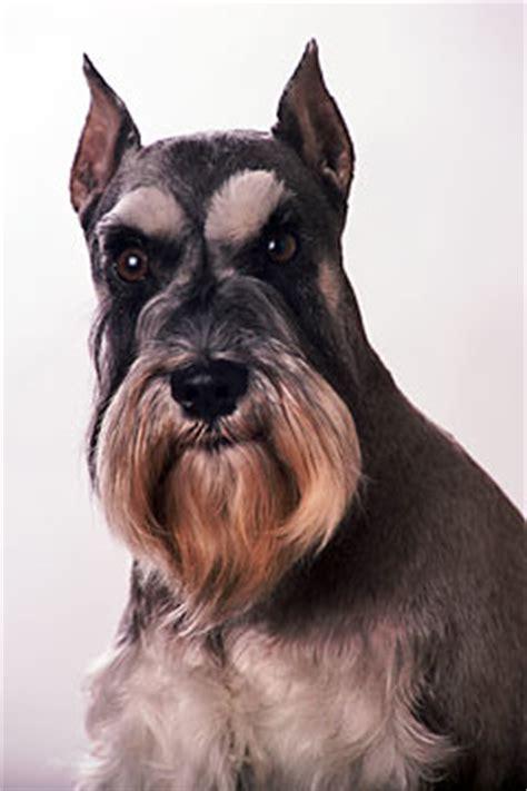 dogs 101 schnauzer miniature schnauzer 101 breed info pawnation