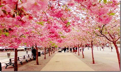 imagenes de sakura japon la ca 237 da de constantinopla