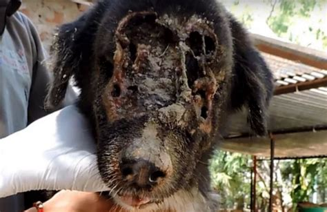 maggots in dogs maggots ate this s as it waits to die in a now see his amazing recovery