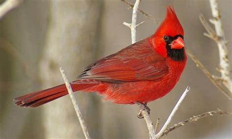 Images Of A Cardinal
